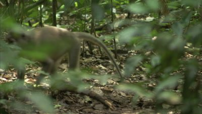 Monkey, Possibly Agile Mangabey, Walks in Forest