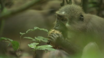 Monkey, Possibly Agile Mangabey, Feeds in Forest