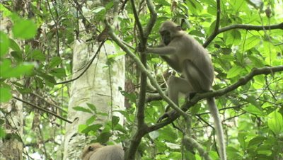 Monkey, Possibly Agile Mangabey, Climbs in Tree