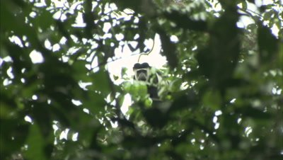 Black And White Colobus (possibly) Climbs in Tree