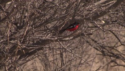 Bird, Crimson-breasted Shrike, Climbs in Tree