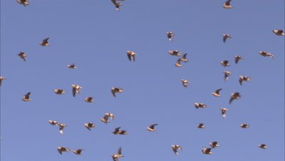 Flock of spotted sandgrouse fly in blue sky