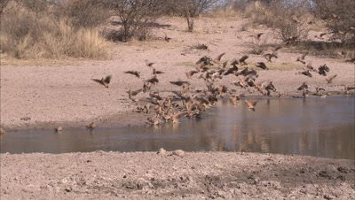 Flock of spotted sandgrouse land, drink at watering hole at Ghanzi grasslands
