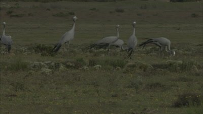Blue Cranes Feed in Grassland