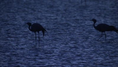 Blue Cranes Lands in Wetland and Dawn or Dusk