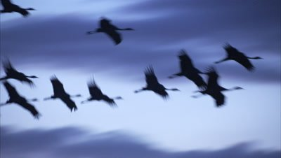 Blue Cranes Fly in Cloudy Sky at Dawn or Dusk