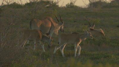 Herd of Antelope, Possibly Eland, Walks in Grass