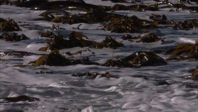Kelp on Surging Ocean Surface