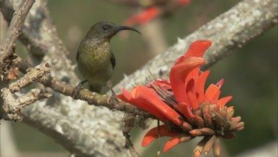 Female Malachite Sunbird Feeds on Leonotis flowers