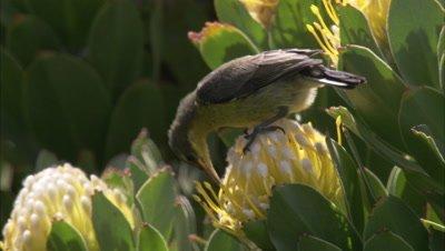 Female Malachite Sunbird Feeds on Protea flowers