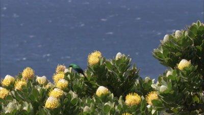 Male Malachite Sunbird Feeds on Protea flowers Above ocean