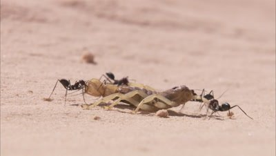 Desert Ants Carrying Dead Animal To Anthole