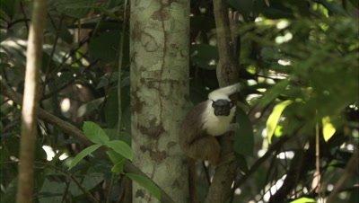 Pied Tamarin Jumping On Tree