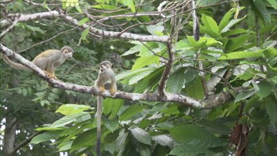 Squirrel Monkeys in Forest Near Manaus, One Jumps Over Another