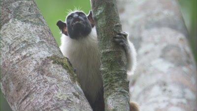 Pied Tamarin Climbing On A Tree