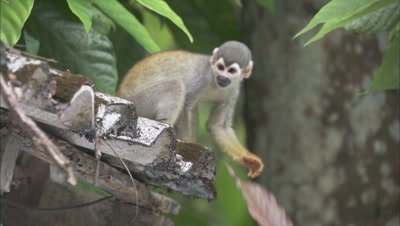 Squirrel Monkey on roof of Building