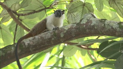 Pied Tamarin Climbs in Forest