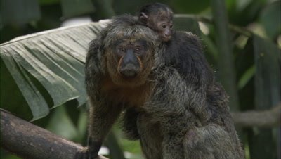 Saki Monkey With Baby on Back In Forest