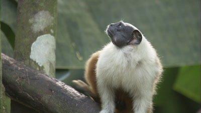 Pied Tamarin Sits in Tree, Looks Around, Alert