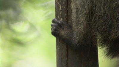 Saki Monkey Climbing Down A Tree