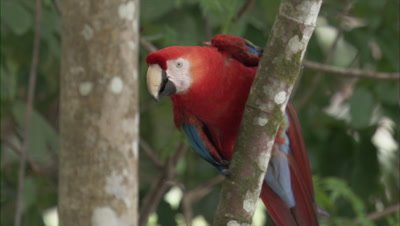 Scarlet Macaw Perches On Tree, Flies Away