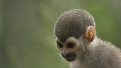 Squirrel Monkeys On Tree Branch