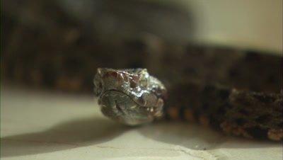 Snake On Tile Floor, Possibly Fer de Lance
