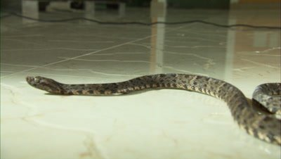 Snake Crawls Across Tile Floor, Possibly Fer de Lance