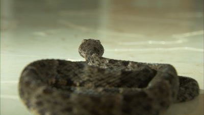 Snake Crawls Across Tile Floor, Possibly Fer de Lance