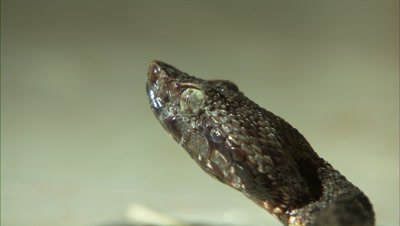 Snake Portrait, Possibly Fer de Lance