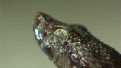 Snake Portrait, Possibly Fer de Lance, Flicks Tongue