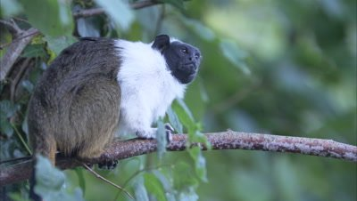 Pied Tamarin On Branch of Tree