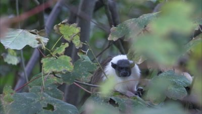 Pied Tamarin Sits On Branch in Forest