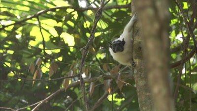 Pied Tamarin Climbing Down Tree