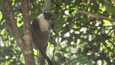 Pied Tamarin Jumps From A Tree