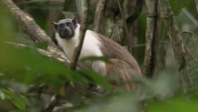 Pied Tamarin Climbs Up Tree