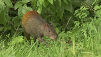 Agouti Foraging for Food at Edge of Forest