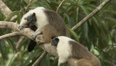 Pied Tamarins In A Forest