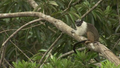 Pied tamarin rests on a branch