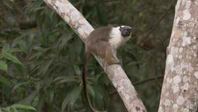 Pied Tamarin climbs in tree