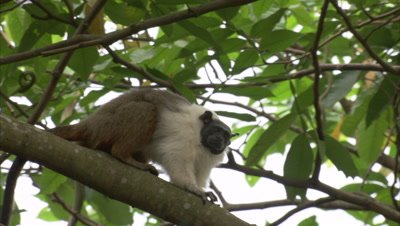 Pied tamarin climbs on a branch