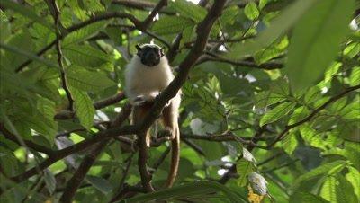 Pied Tamarin Overhead in Tree