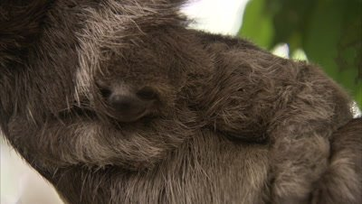 Three-toed Sloth with baby on belly