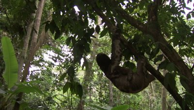 Three-toed sloth Hangs from Branch with baby on belly