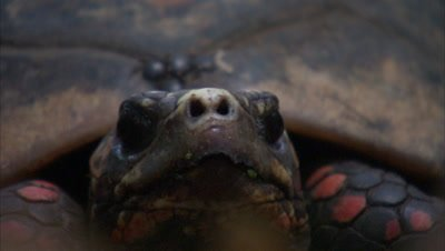 Red-Footed Tortoise, Head on close up of face