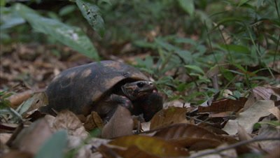 Red-Footed Tortoise Crawls In Forest Leaf Litter