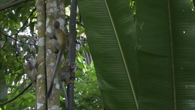 Squirrel Monkeys Climb In Forest