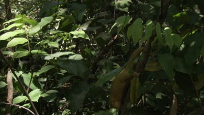 Silky Anteater Climbs Down Tree in forest