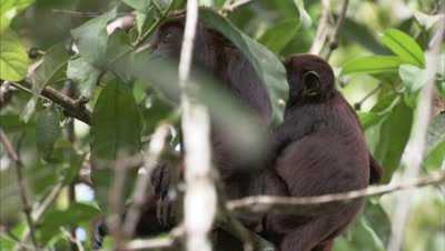 Red Howler Monkey Climbing Down A Tree, Pushes Young animal off Back