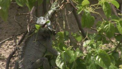 iguana feeds on vegetation on derelict building